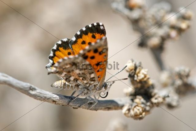 Butterfly of the South African species of the genus Aloeides, Knersvlakte, Western Cape, Namaqualand, South Africa, Afirca