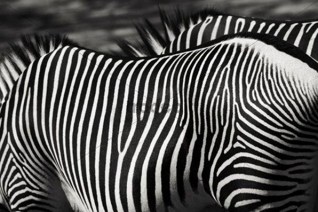 Grevy´s zebra (Equus grevyi), close-up