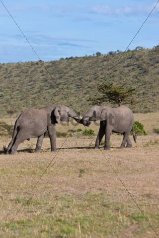 African Bush Elephants (Loxodonta africana), two young bulls fighting each other, Masai Mara National Reserve, Kenya, East Africa, Africa, PublicGround