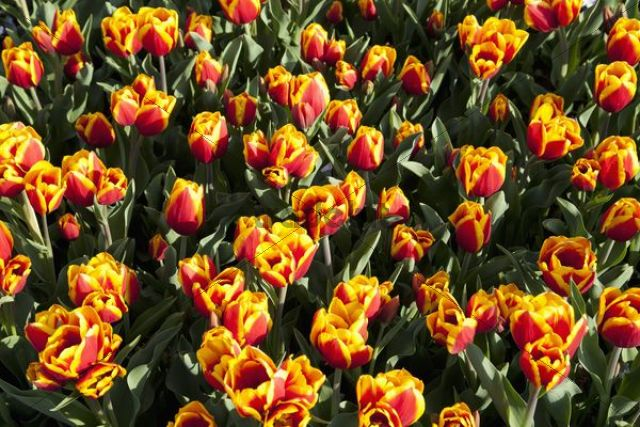 Bed of yellow and red Tulips (Tulipa)
