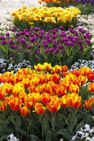 Tulip bed with a colorful mix of Tulips (Tulipa)