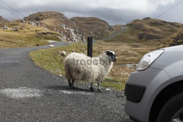 Sheep on road to Slieve League, County Donegal, Ireland, Europe, PublicGround