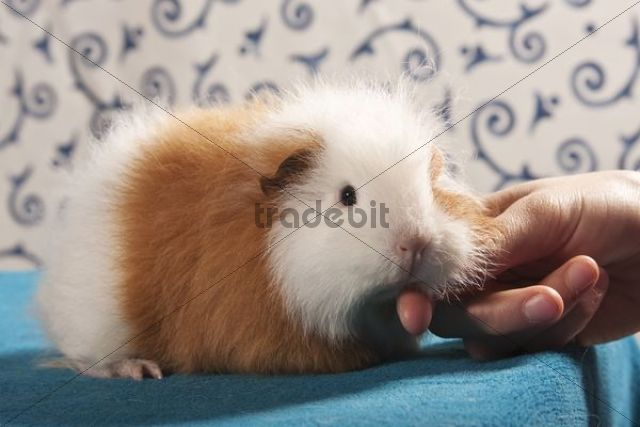 Swiss Teddy guinea pig, pedigree guinea pig, being stroked