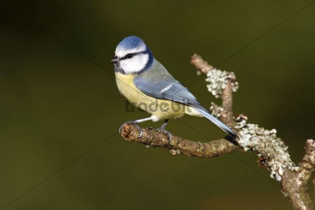 Blue Tit (Parus caeruleus) perched on a lichen-covered branch, Neunkirchen, Siegerland district, North Rhine-Westphalia, Germany, Europe