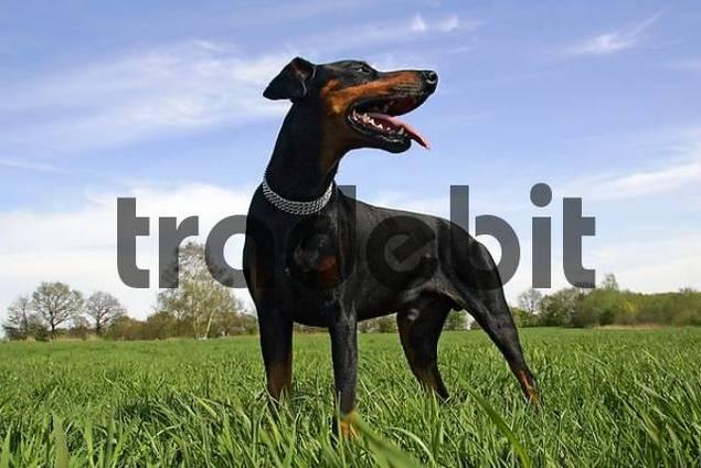 panting doberman pinscher - doberman - male - portrait - domestic dog