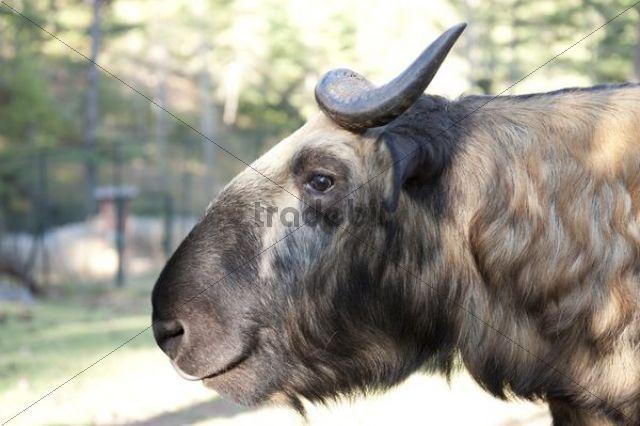 Mishmi Takin (Budorcas taxicolor), Bhutan´s national animal, portrait, Motithang Takin Preserve, Thimphu, the Himalayas, Kingdom of Bhutan, South Asia, Asia