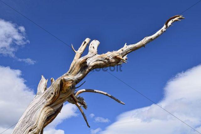 Long-living Great Basin Bristlecone Pine (Pinus longaeva), dead tree, Bristlecone Pine Forest, Mt. Goliath Natural Area, Mt. Evans Scenic Byway, Idaho Springs, Colorado, USA