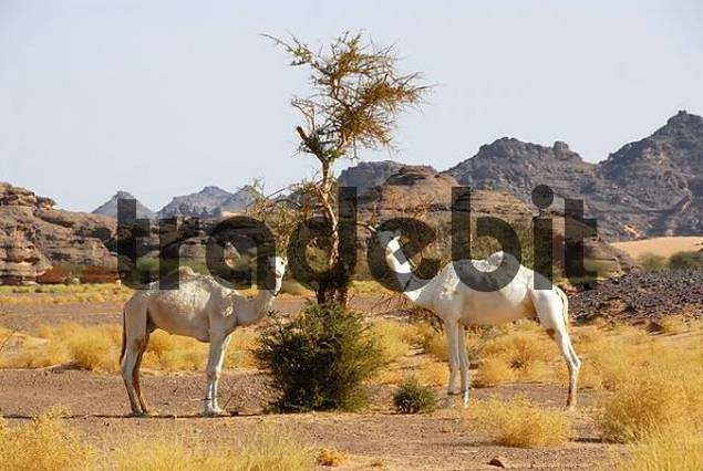 Two camels feed from a puny Acacia Acacus Libya