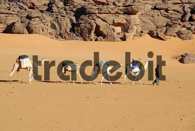 Tuareg walks with camels through the desert Acacus Libya