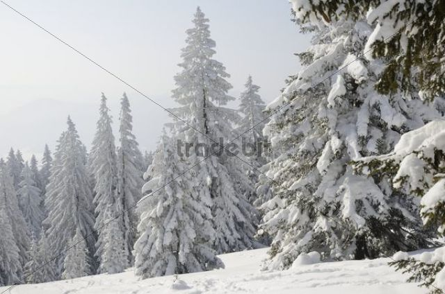 Snow-covered pine trees, Spruces (Picea abies) in a winter forest, near Elbach, Leitzachtal, Bavaria, Germany, Europe