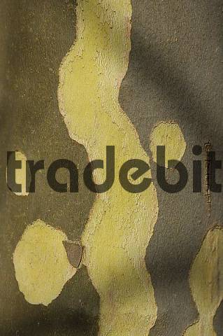 Hybrid Plane bark platanus acerifolia