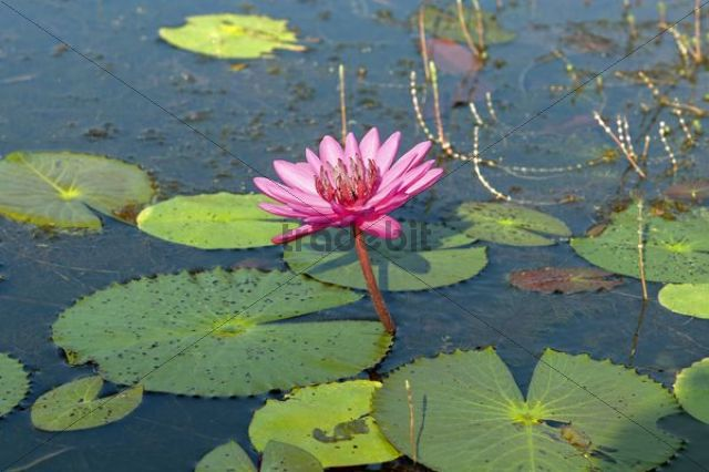 Pink water lilly, Cambodia, Southeast Asia