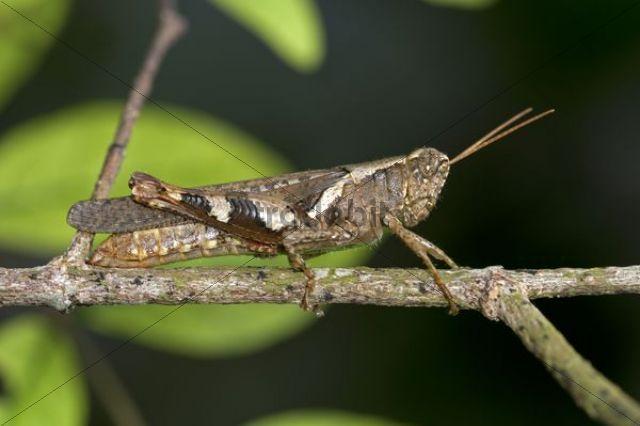 Locust or grasshopper (Xenocatantops humilis), Thailand, Southeast Asia