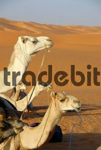 Three camels look in one direction ahead Mandara Libya