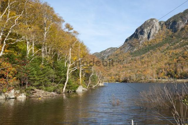 Indian Summer, white birch trees (Betula) with yellow autumnal leaves, autumn colours by the lake, Profile Lake, Franconia Notch State Park, White Mountains National Forest, New Hampshire, New Eng