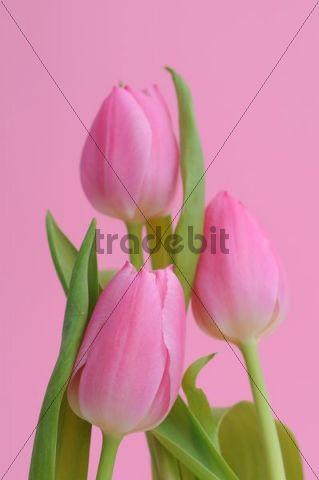 Pink Tulips (Tulipa)