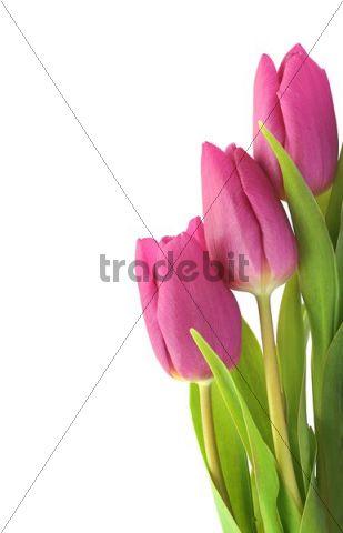 Internal Tulips, The - Mislead Into A Field By A Deformed Deer