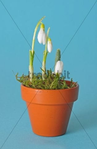 Snowdrops (Galanthus nivalis) in a flower pot