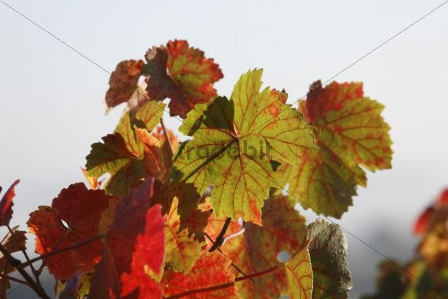 Autumn vine leaves, Waigolshausen, Lower Franconia, Franconia, Bavaria, Germany, Europe