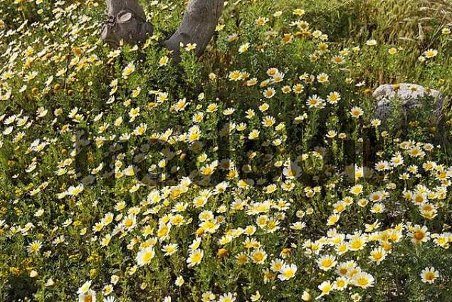 Crown Daisy Chrysanthemum carinatum oder coronarium, Santorini, Greece