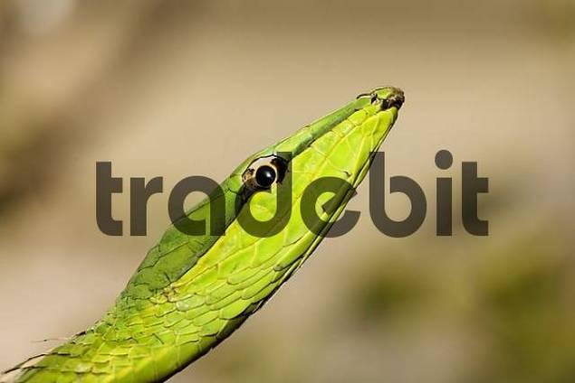 Green Vine Snake  Oxybelis fulgidus, Costa Rica