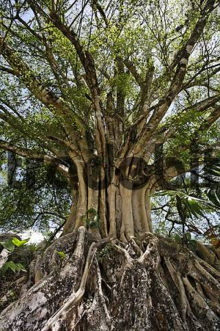 Banyan Tree, Ficus benghalensis, Costa Rica