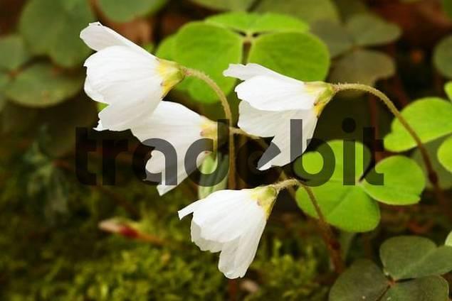 blooming Wood Sorrel Oxalis acetosella