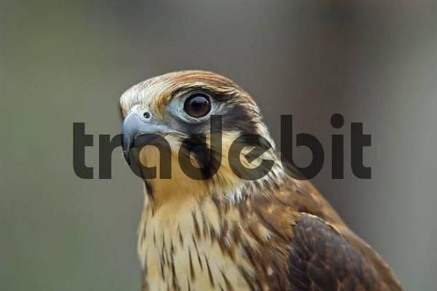 captive falcon in Nubeena Tasmania Australia