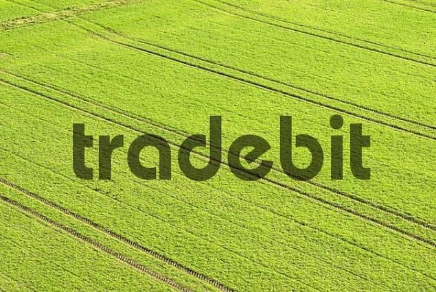 tracks of a bull dog in winter wheat fields