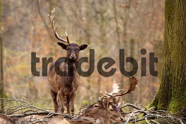 fallow deer Dama dama with half antler