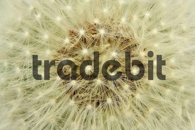 seed head, dandelion, Taraxacum officinale