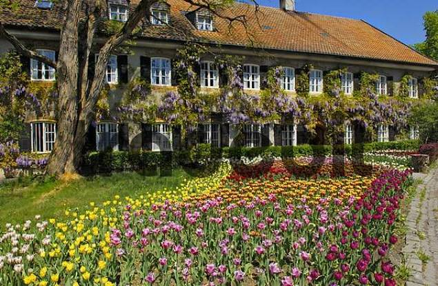 Garden Tulips Tulipa and Chinese wisteria Wisteria sinensis, garden in Aying, Bavaria, Germany