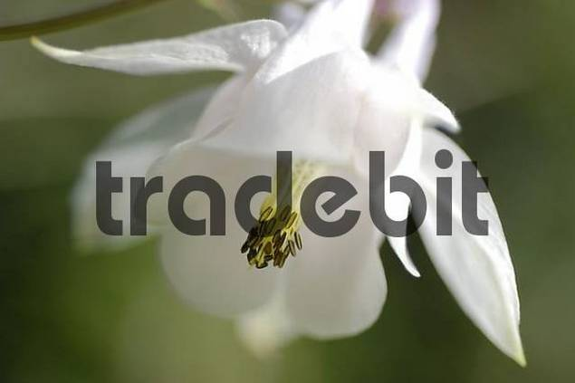 white aquilegia  Aquilegia vulgaris, bloom