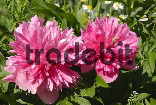 Pink flowers of paeonia officinalis, cultivated filled form, Paeoniaceae
