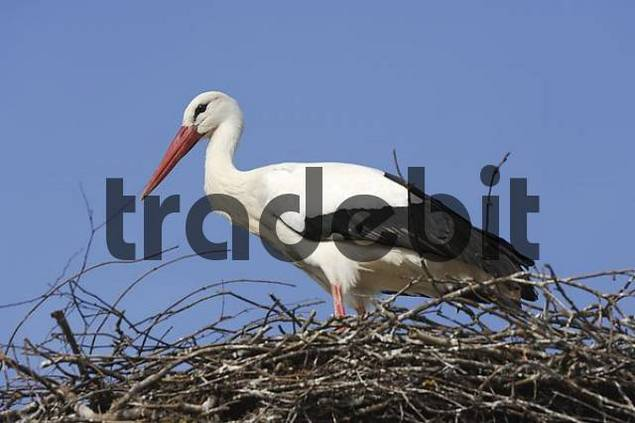 white stork Ciconia ciconia at its nest