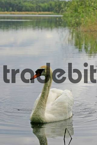 Mute Swan Cygnus olor on lake