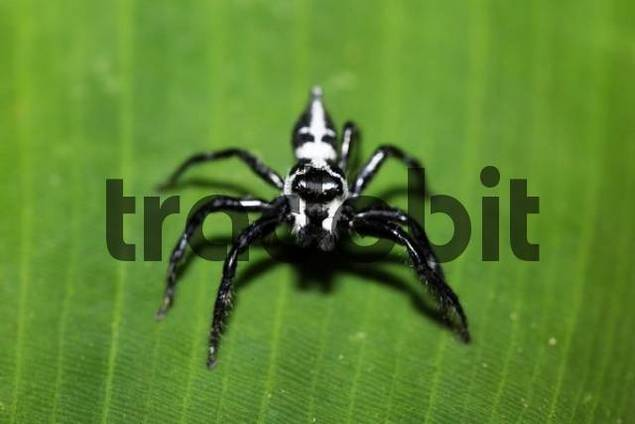 Jumping spider, Salticidae, Costa Rica