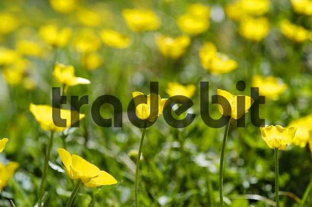 buttercup Ranunculus