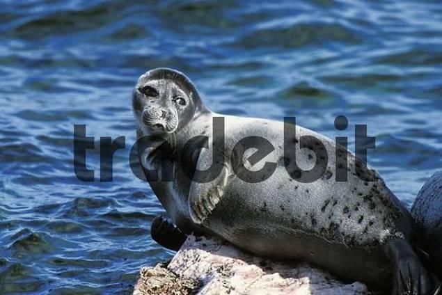 Baikal Seal, Phoca sibirica, Zabaikalsky Nationalpark, Ushkany Islands, Lake Baikal, Russia