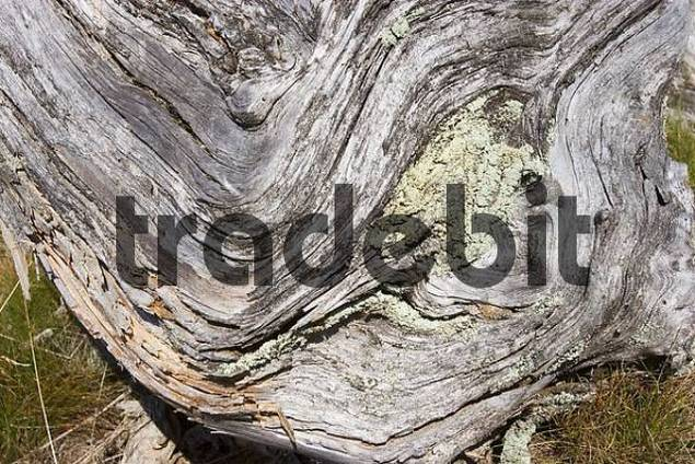 dead spruce with lichen in National Park Bavarian Forest Germany