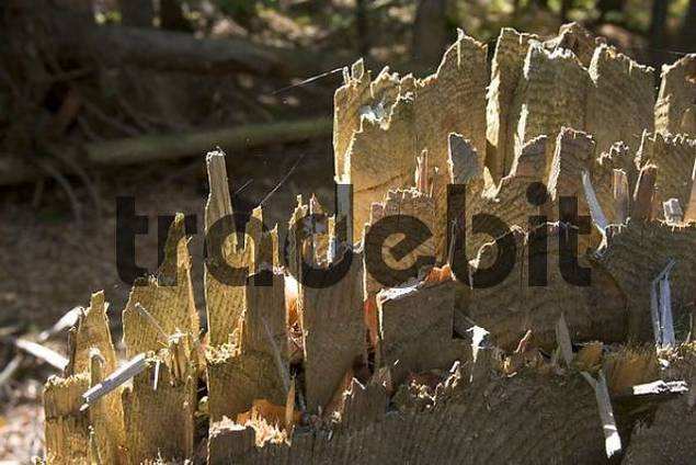 cut spruce in National Park Bavarian Forest Germany