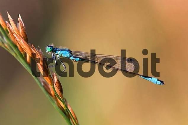 Blue-tailed Damselfly Ischnura elegans on a blade of grass