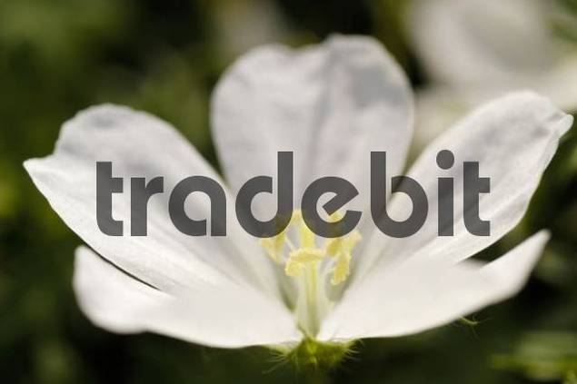wood sorrel Oxalis acetosella, bloom