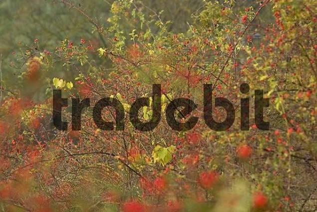 haws of dog rose - Rosa canina - Germany