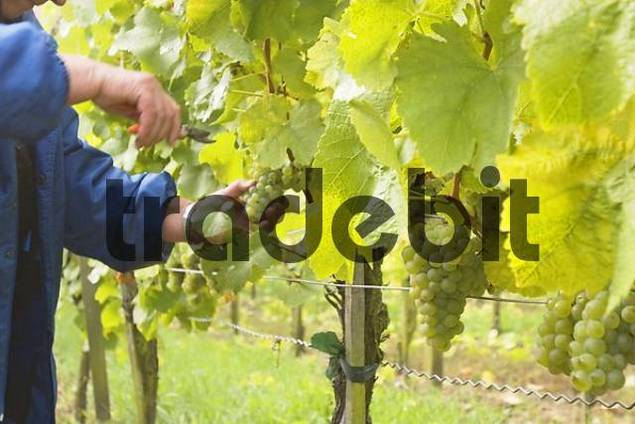 grape harvest at vineyard Frickenhausen - Franconia Bavaria Germany
