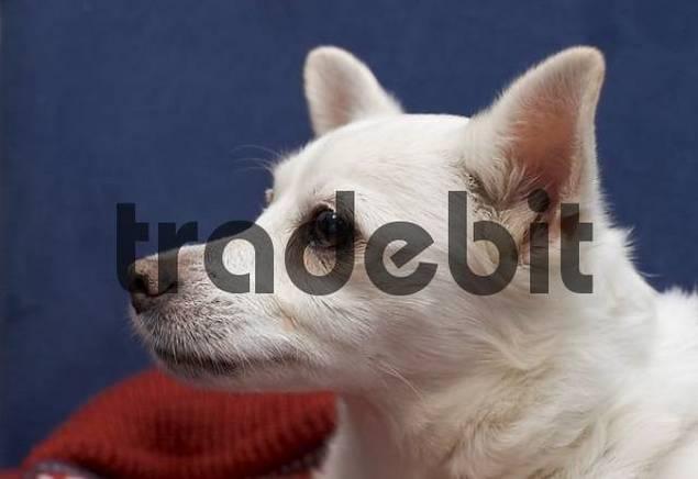 mongrel Pomeranian Chihuahua cross breed dog