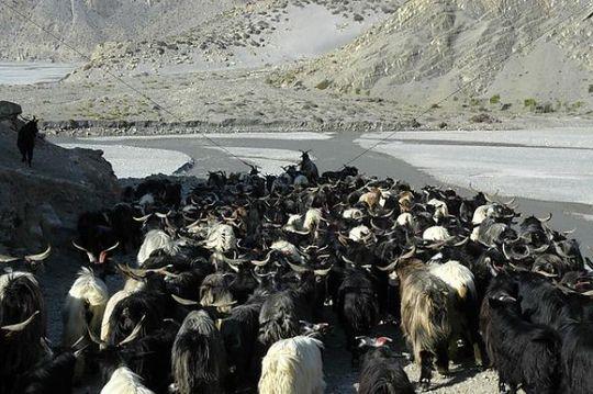 Herd of goats move into the Kali Gandaki River valley near Jomsom Mustang Annapurna Region Nepal
