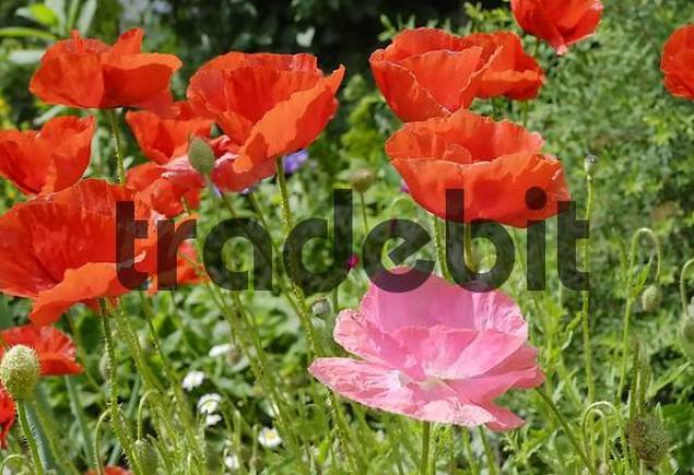 Flowers of red and pink poppies, papaveraceae rhoeas L Papaveraceae in back light