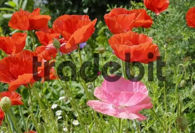 Flowers of red and pink poppies, papaveraceae rhoeas L Papaveraceae in back light