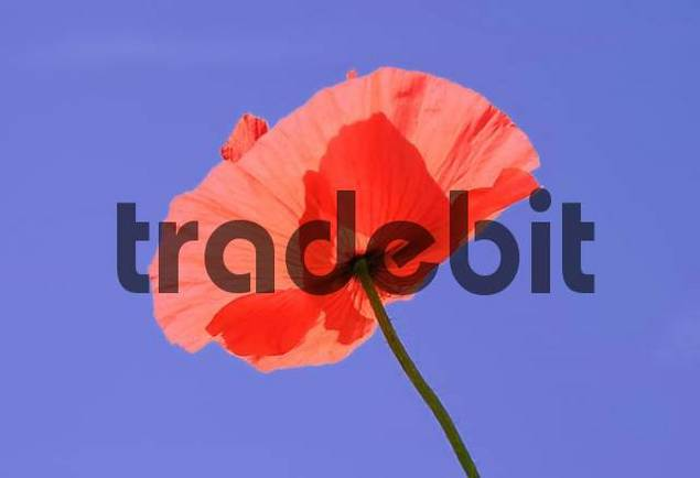 Blossoms of poppies, papaver rhoeas L. Papaveraceae in backlight